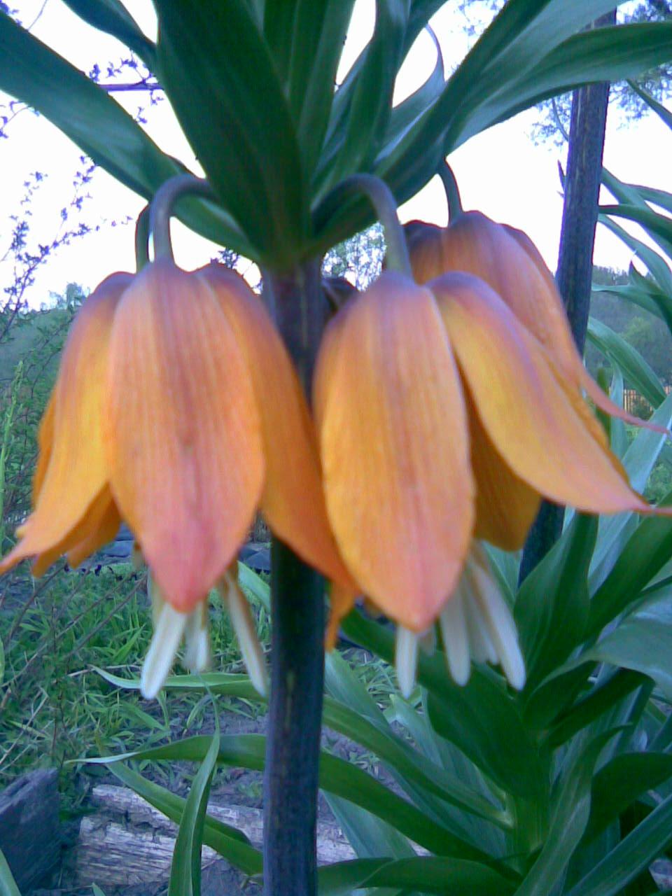 Цветок рябчик сорта этих цветков